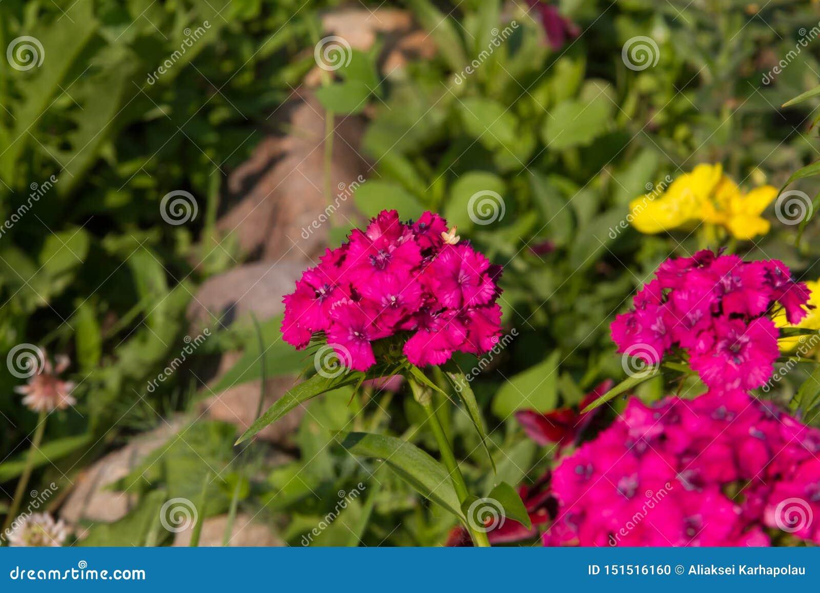 土耳其康乃馨美丽的花在夏天晴朗的庭院里