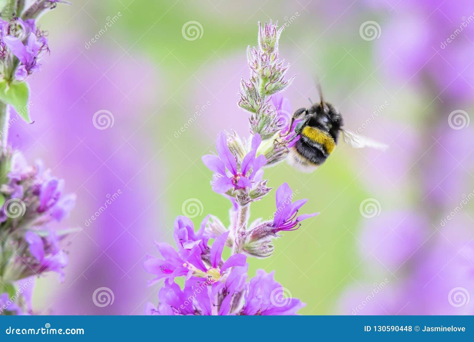 土蜂在飞行中与可看见的翼运动 英国蜂蜜酒