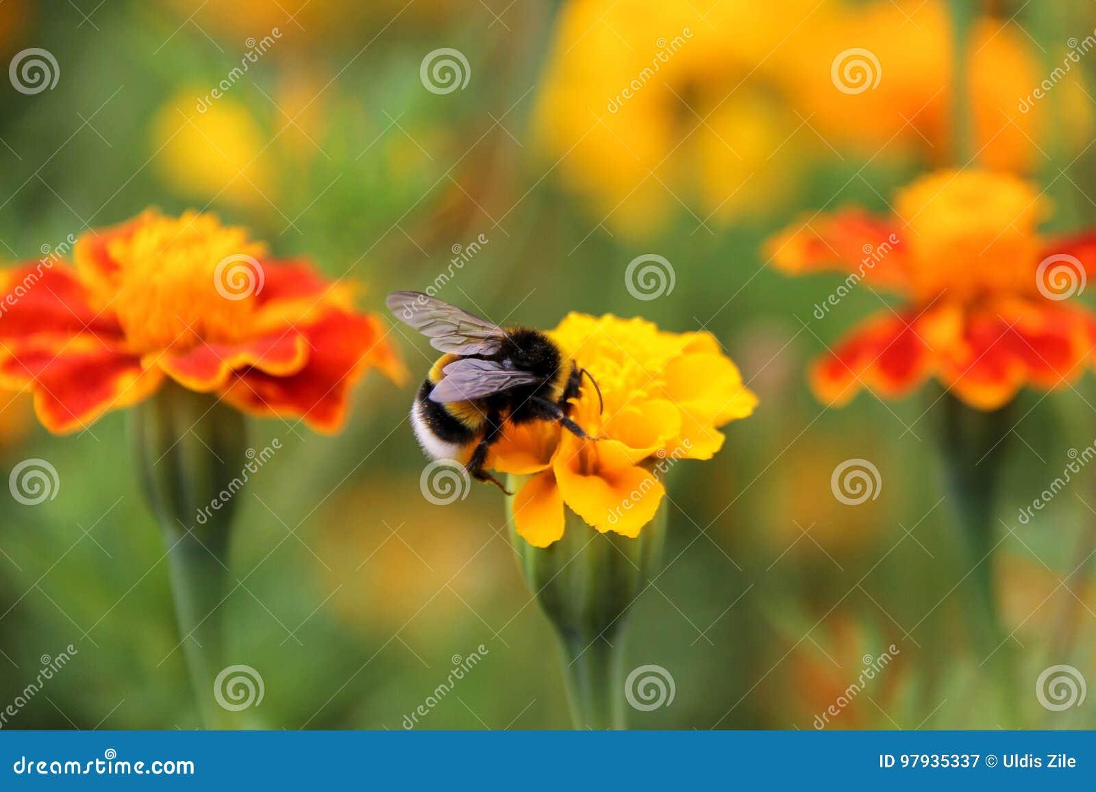 土蜂在tagetes花的饮料花蜜