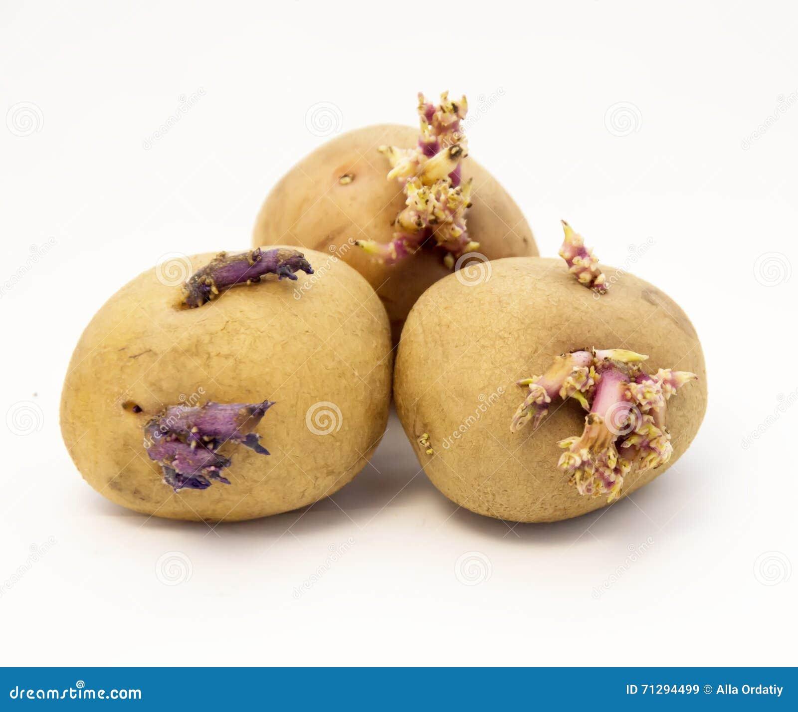 土豆发芽了
