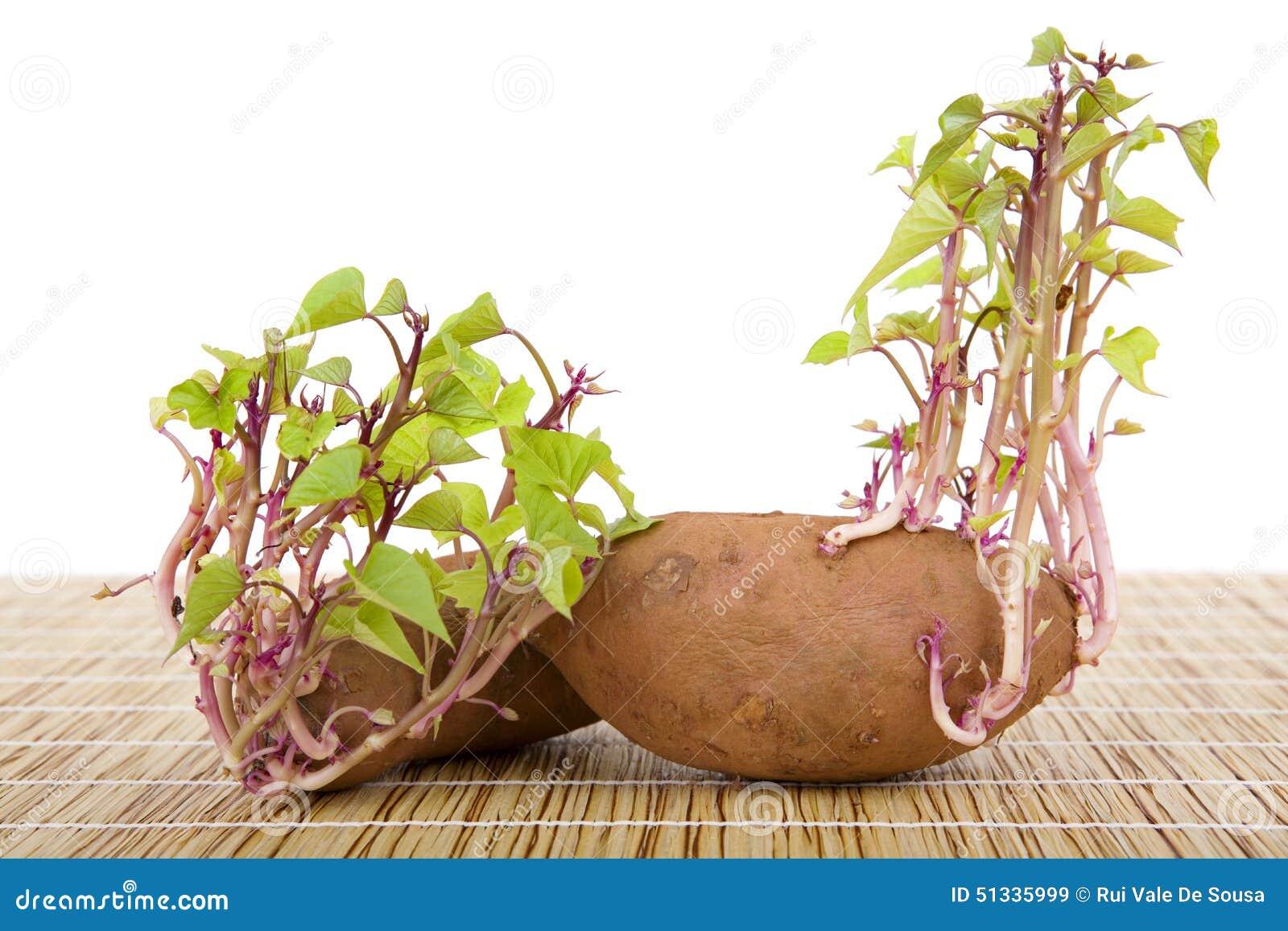 土豆发芽 库存照片 - 图片: 51335999图片