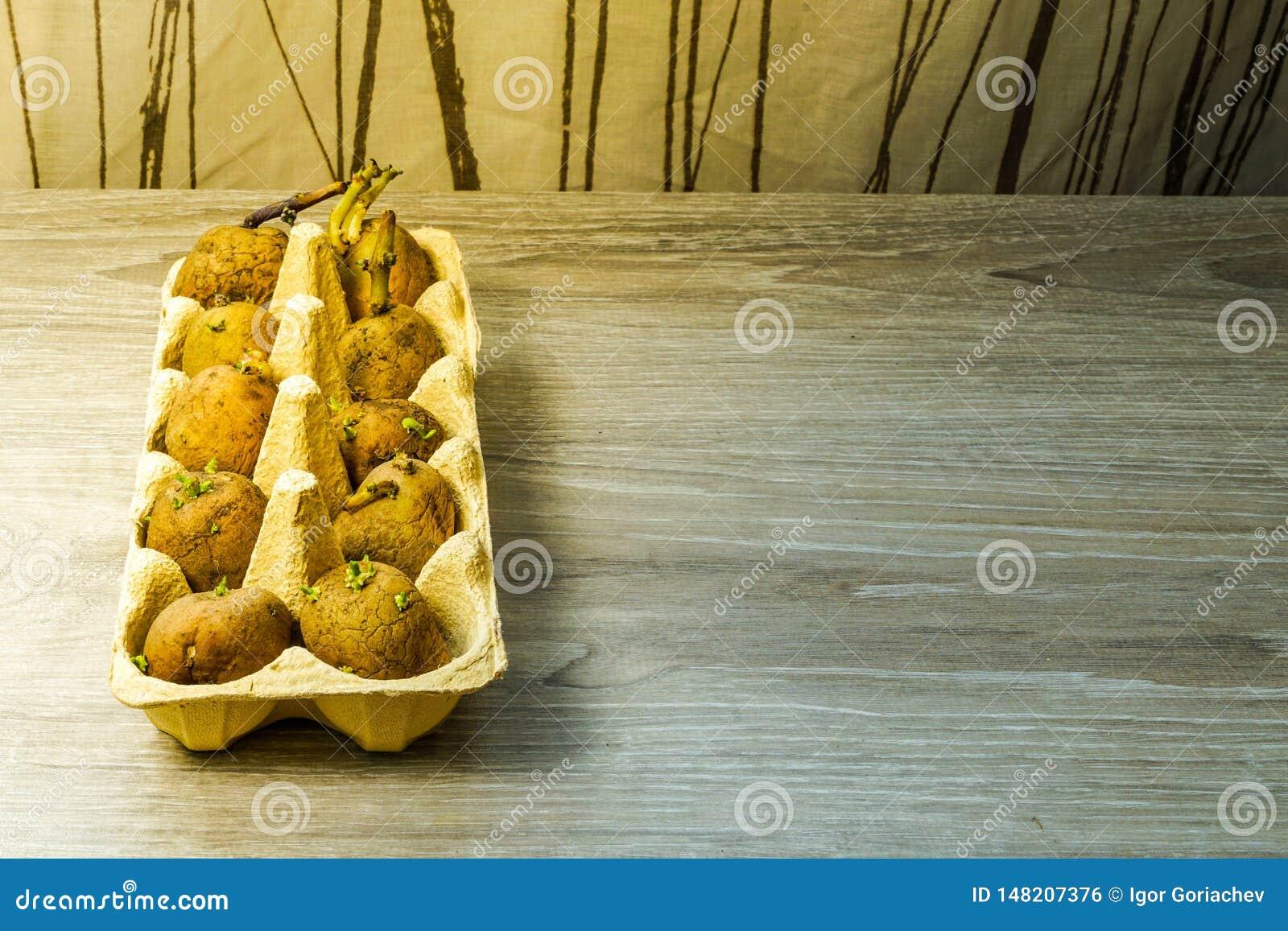 土豆种子,发芽在种植在地面前