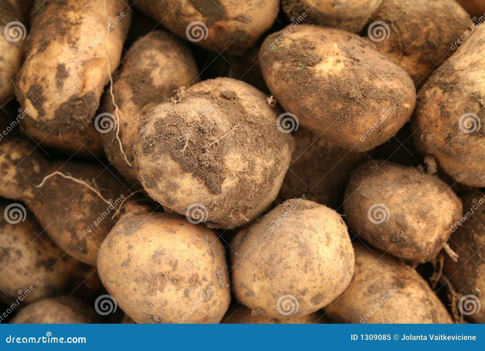 土豆 免版税库存照片 - 图片: 1309085图片