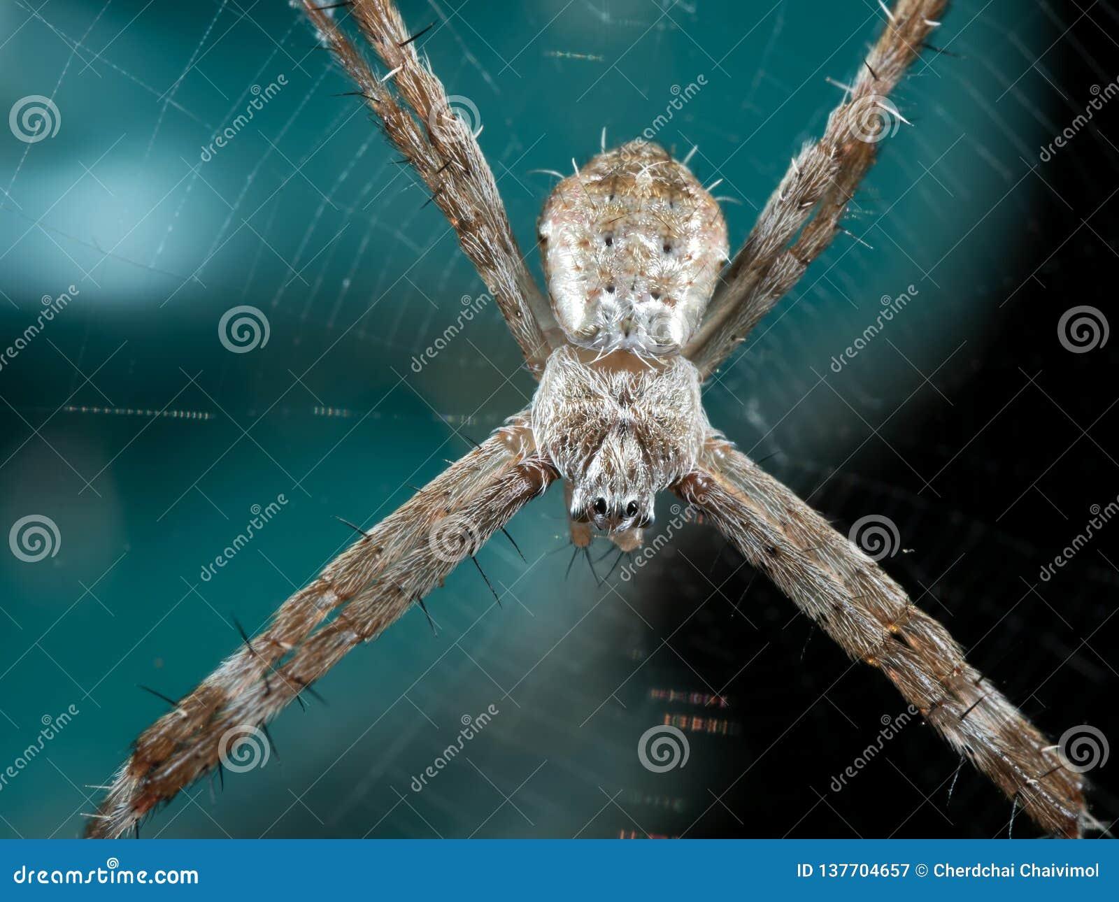 圣安德鲁斯球场在背景在网的十字架蜘蛛宏观照片隔绝的