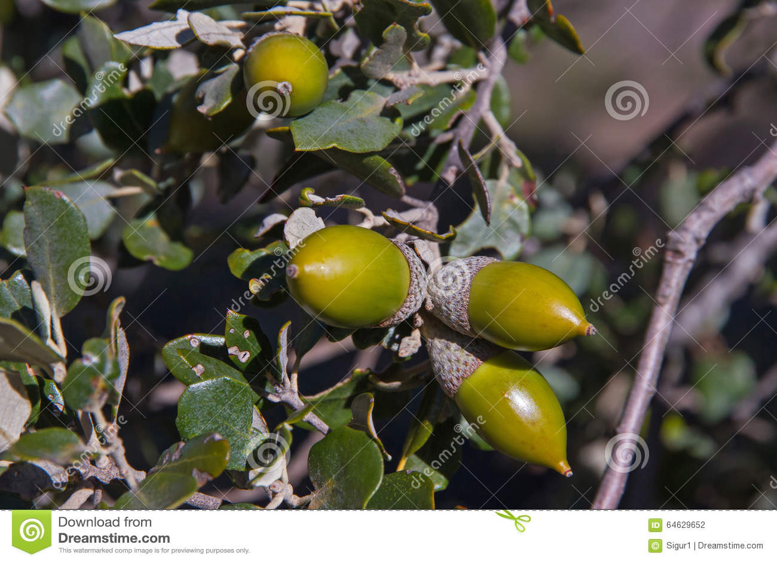 圣栎树橡子 库存照片 - 图片: 64629652