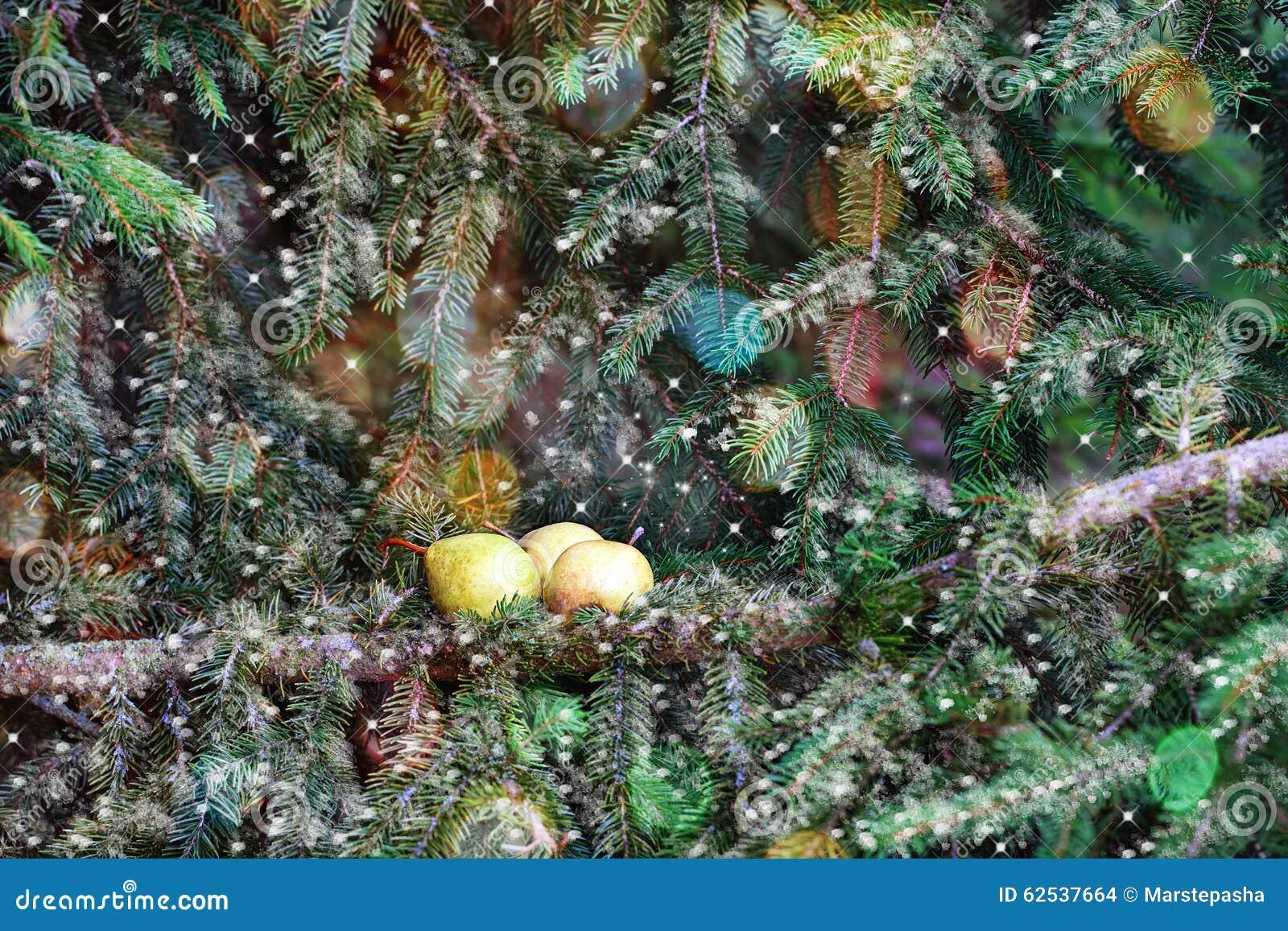 圣诞卡:在一个云杉的分支的梨
