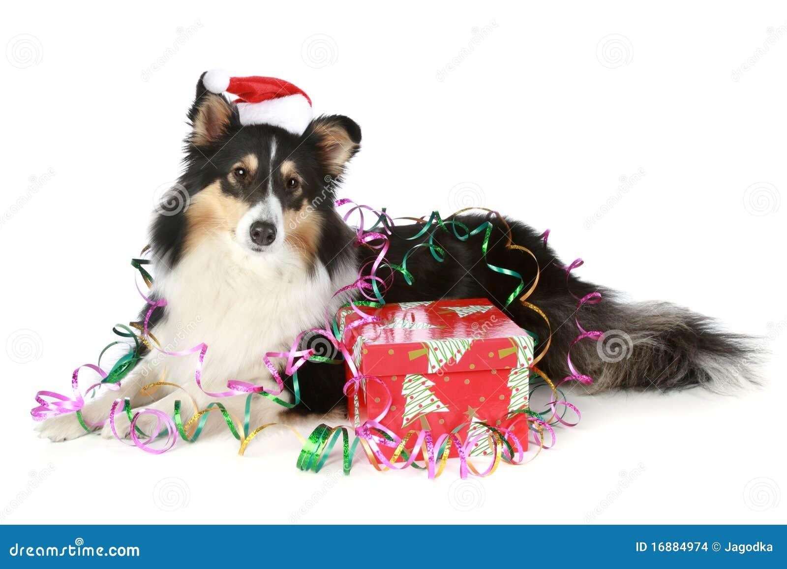 圣诞节礼品帽子护羊狗舍德兰群岛