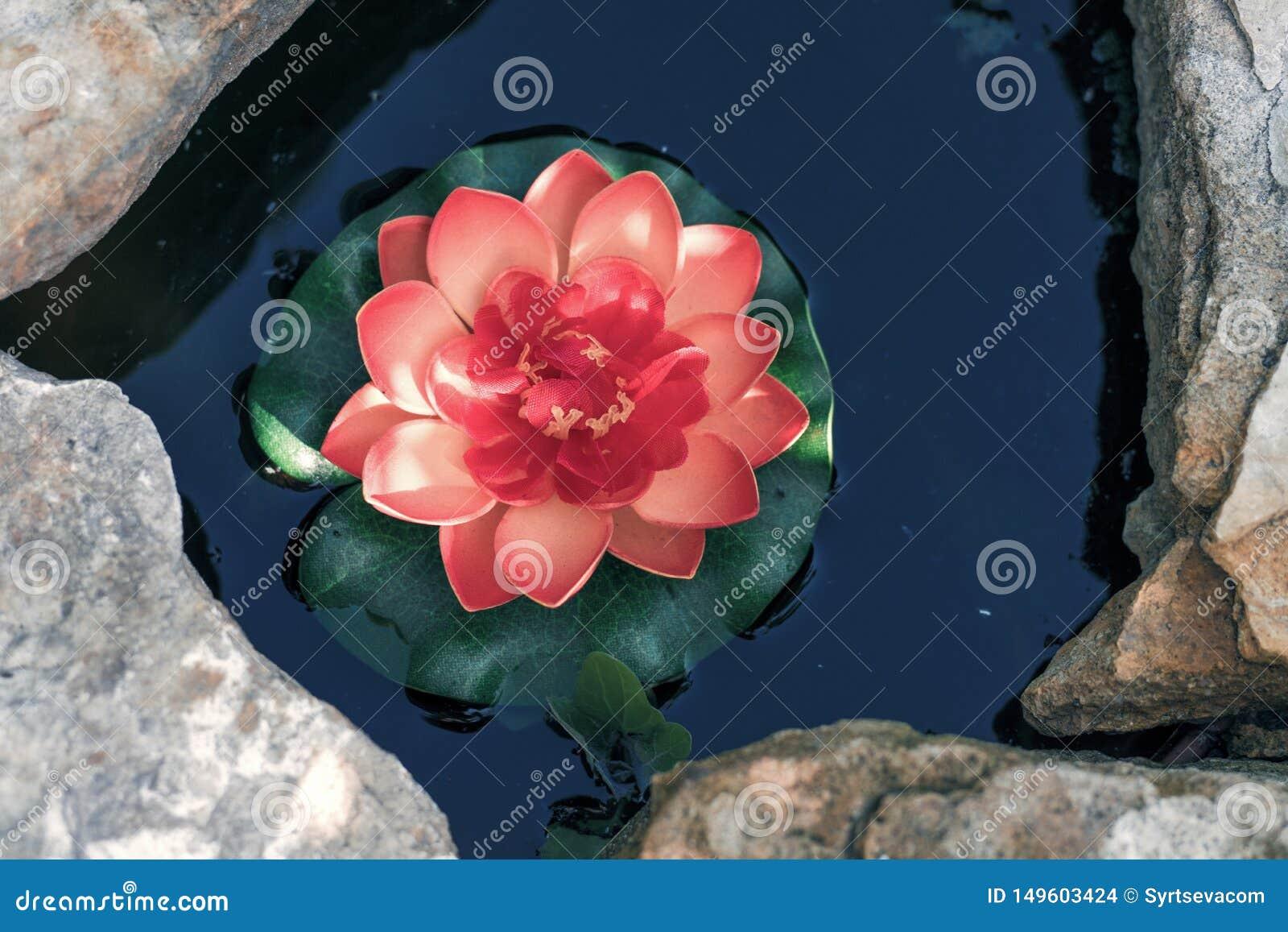 在一个人为池塘特写镜头的桃红色莲花