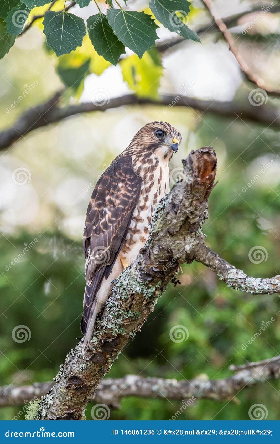在一个光秃的树枝栖息的锋利被走路的鹰