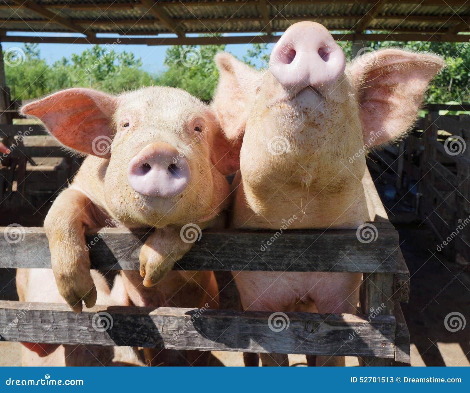 在一个农场的两头逗人喜爱,滑稽和好奇猪多米尼加共和国的Repu的
