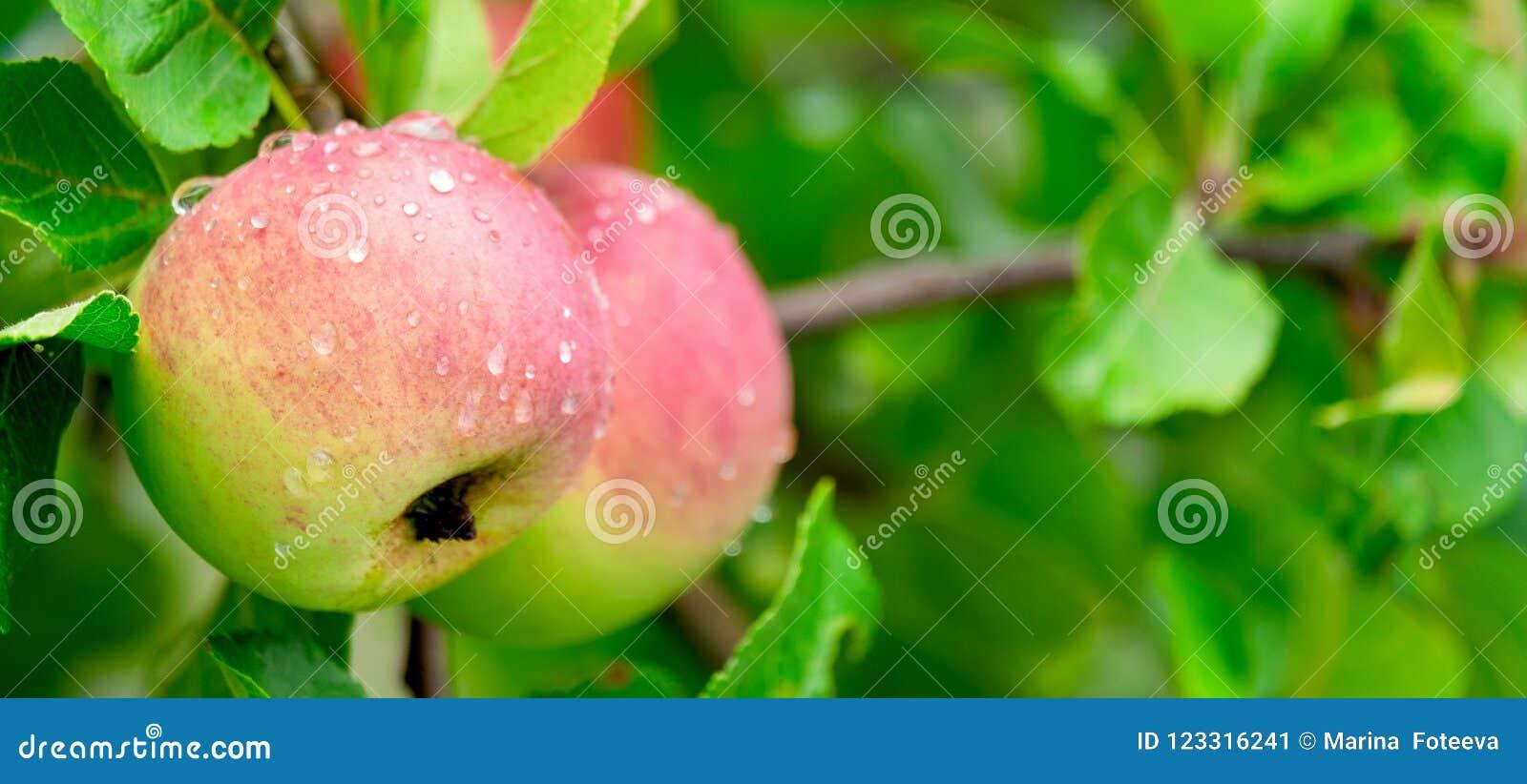 在一个分支的成熟的水多和美味苹果在雨以后