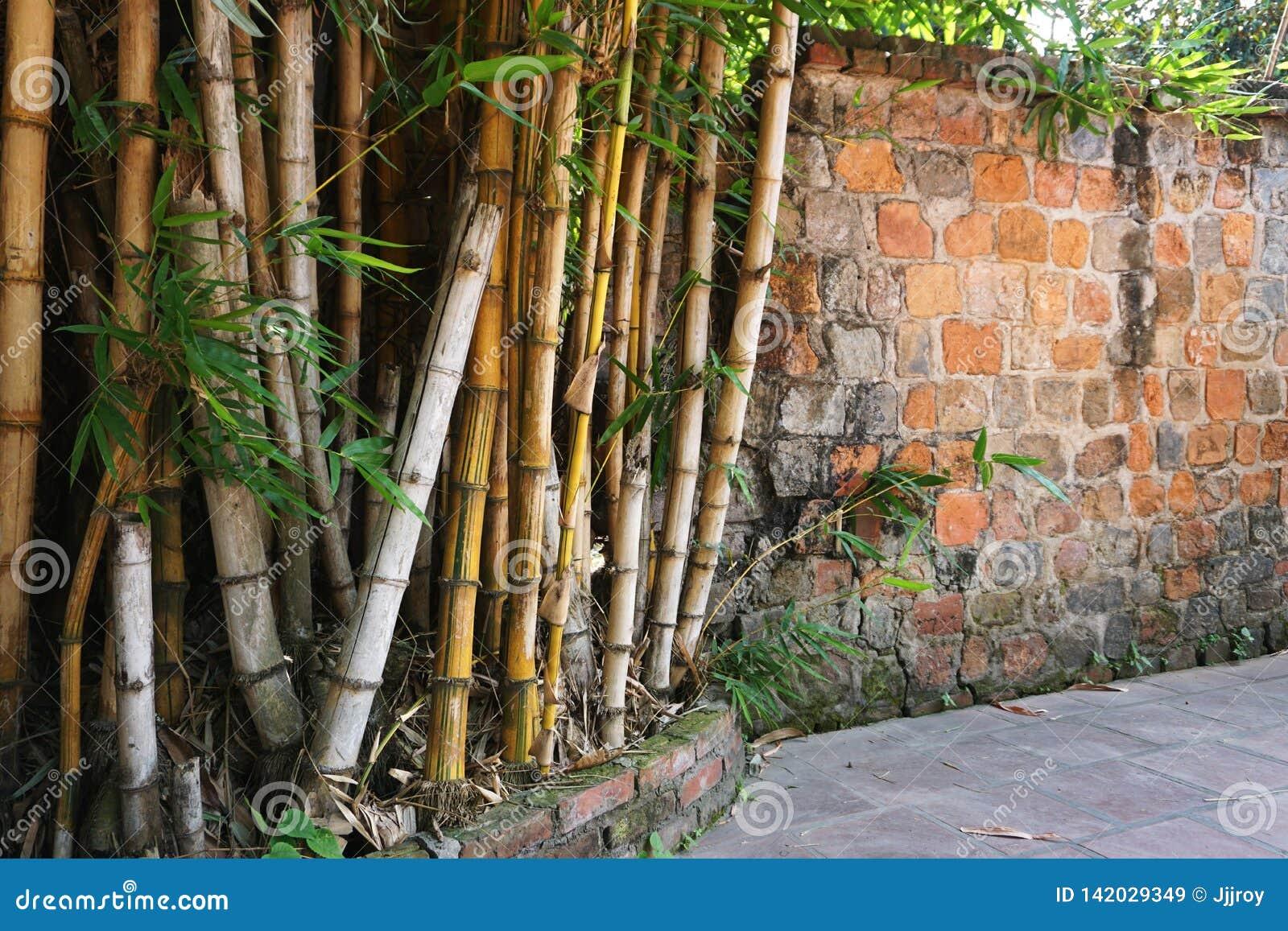 在一个古老石墙旁边的成熟竹树丛在越南