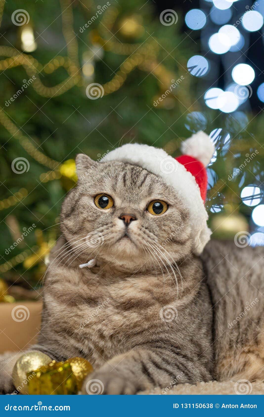 在一个圣诞老人项目帽子的一只逗人喜爱的猫反对被弄脏的圣诞灯