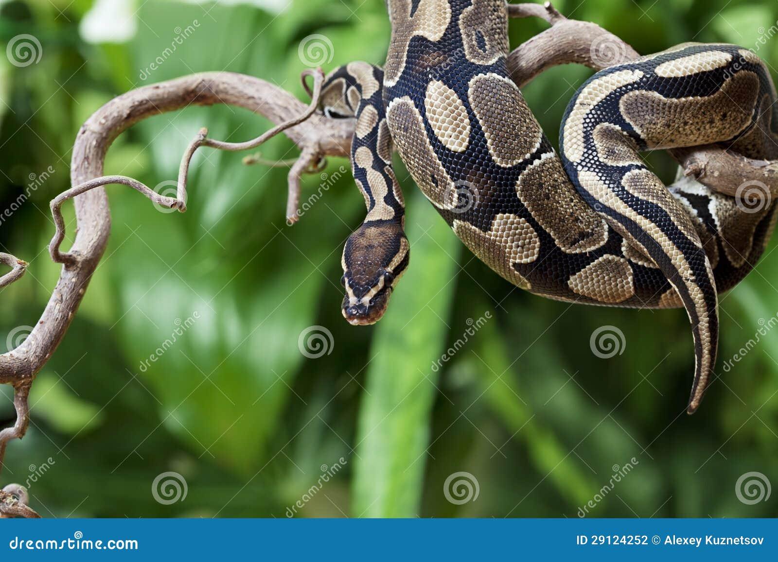 在一个木分行的皇家Python蛇