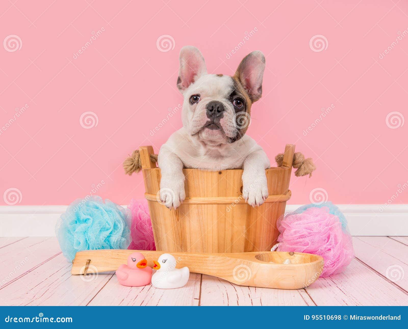 在一个木蒸汽浴桶的逗人喜爱的法国牛头犬小狗在一个桃红色卫生间设置