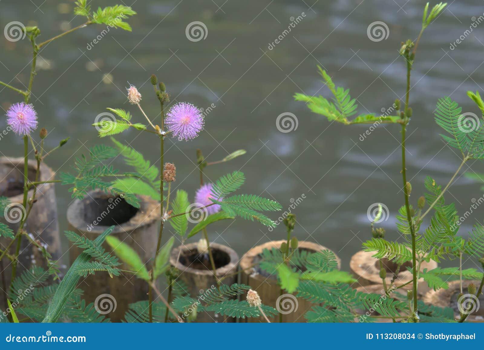 在一个池塘附近的美丽的紫色镶有钻石的旭日形首饰的花在曼谷,泰国