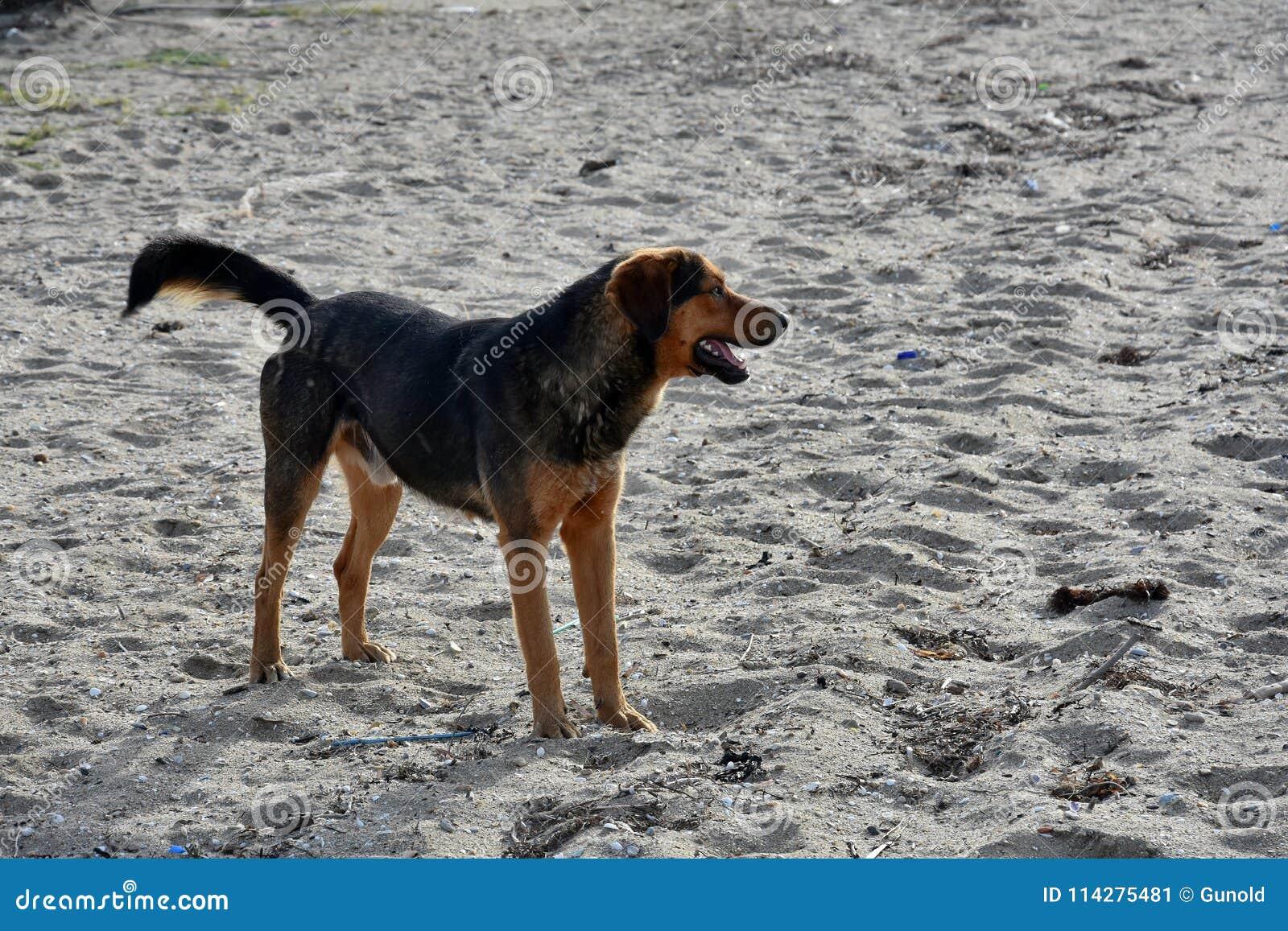 在一个海滩的大黑流浪狗在希腊