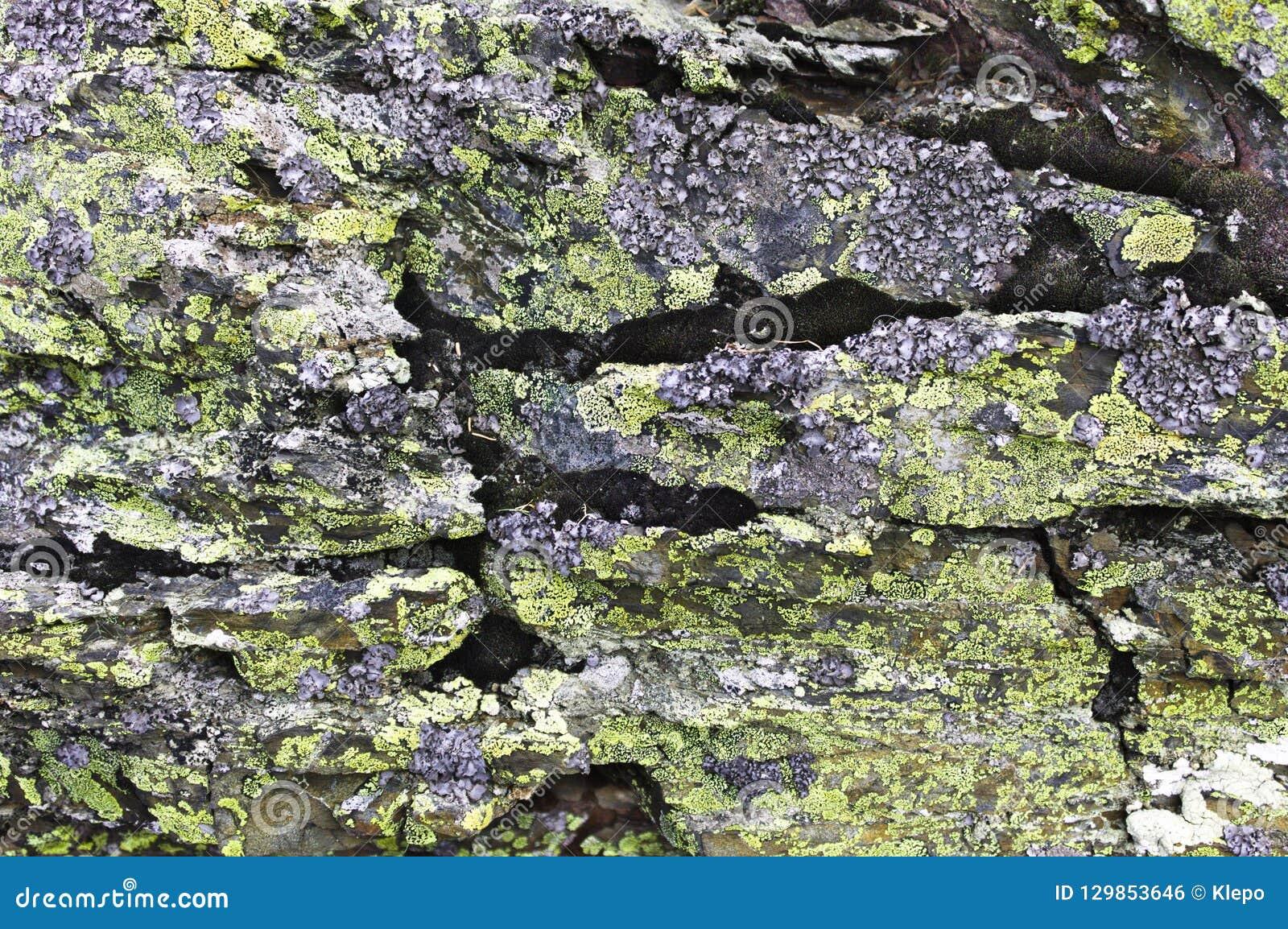 在一个灰色岩石的青苔