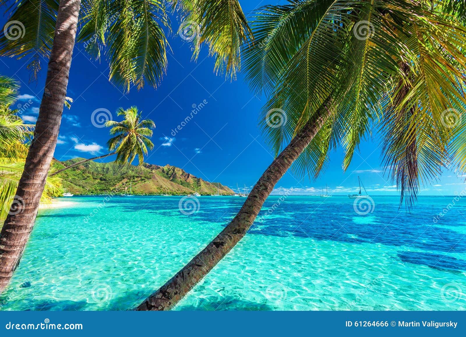 在一个热带海滩的棕榈树与Moorea的,塔希提岛蓝色海