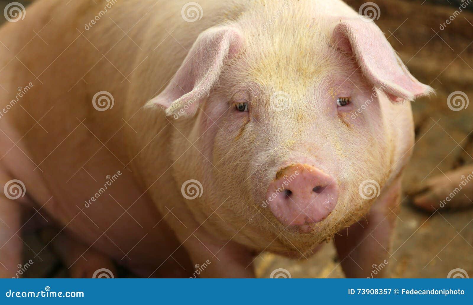 在一个猪圈的肥胖猪在农场