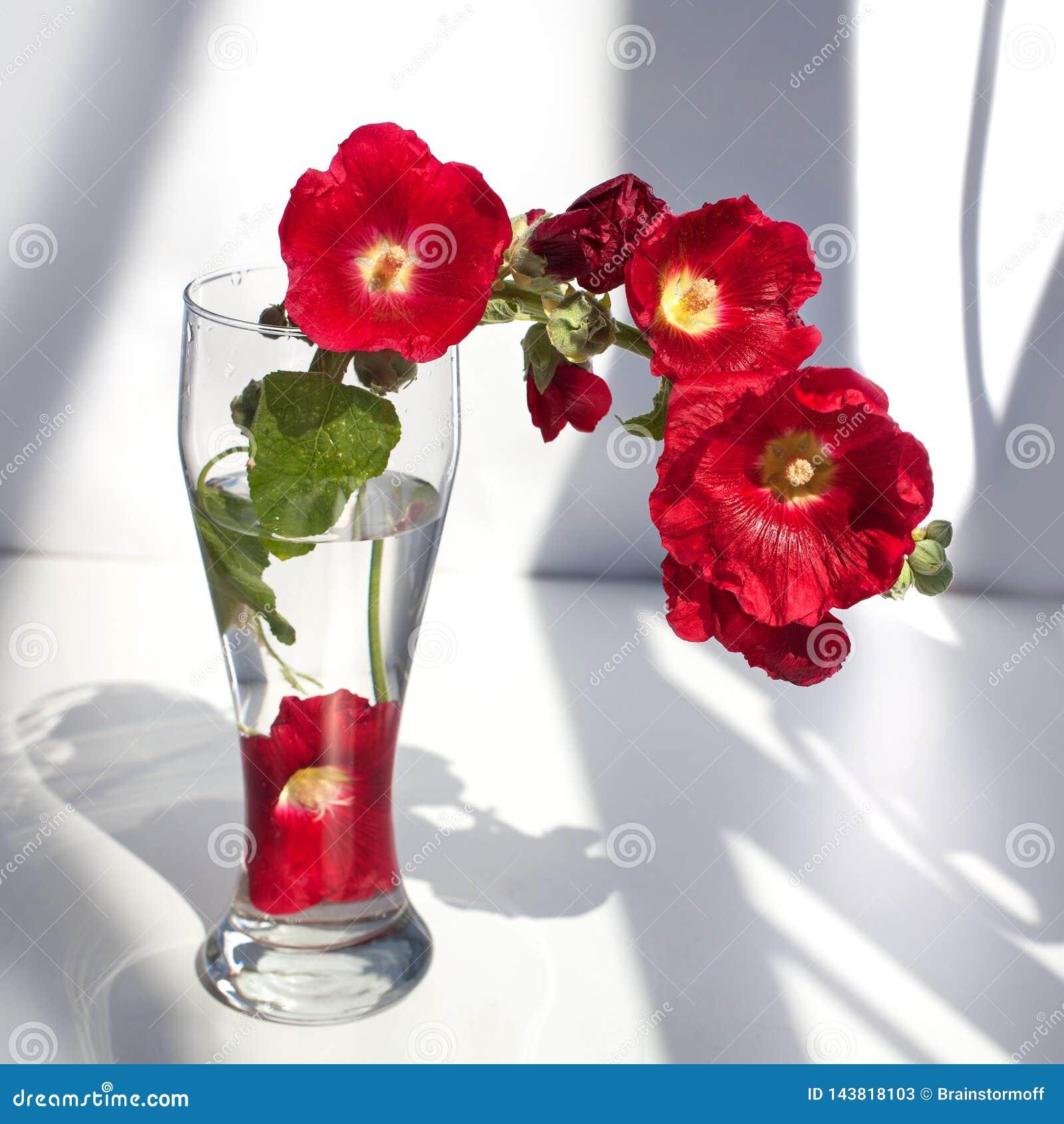 在一个玻璃花瓶的红色冬葵花分支,在白色背景关闭的花束用在阳光的水和阴影