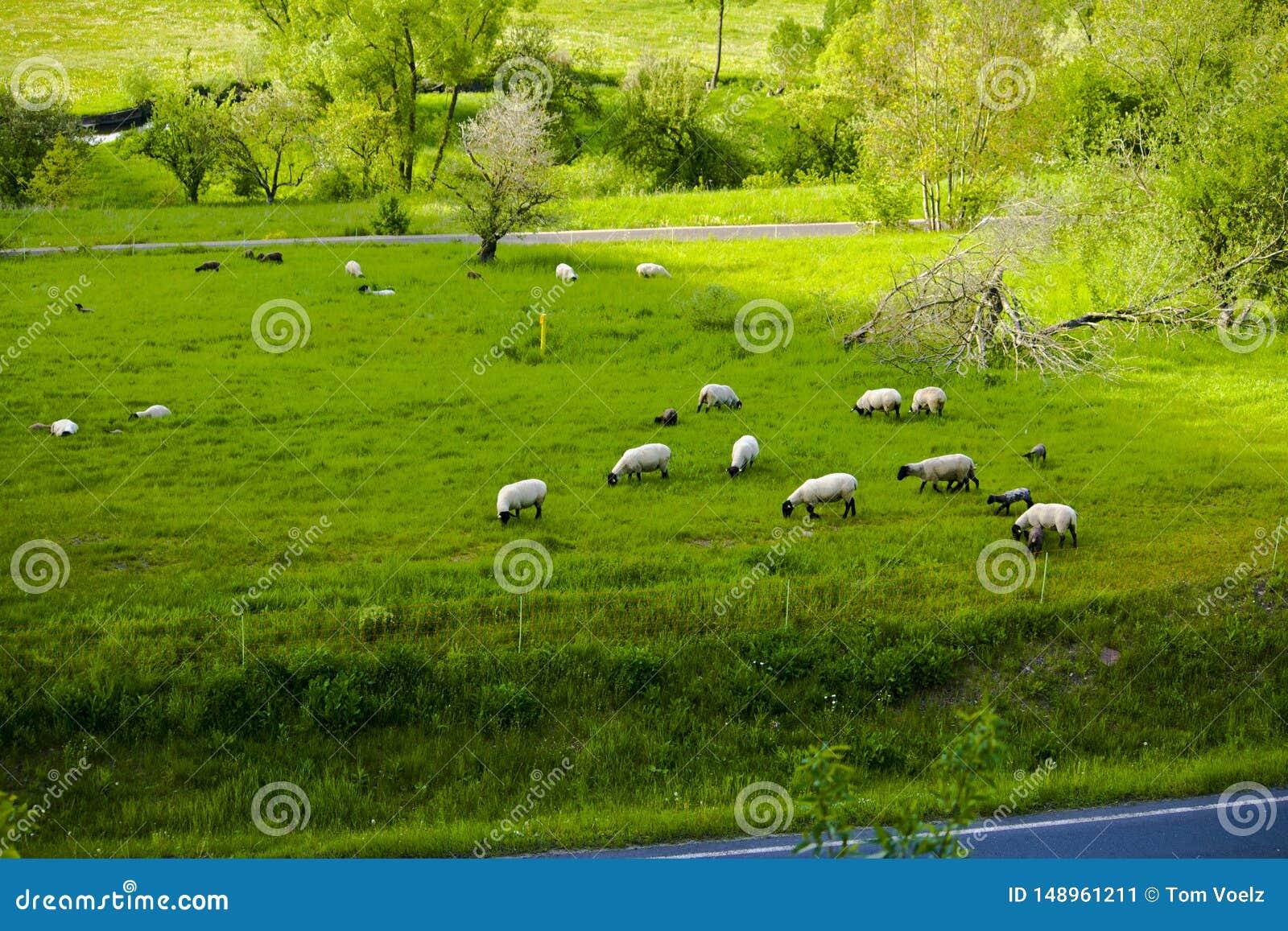 在一个田园诗山牧场地的绵羊在巴伐利亚