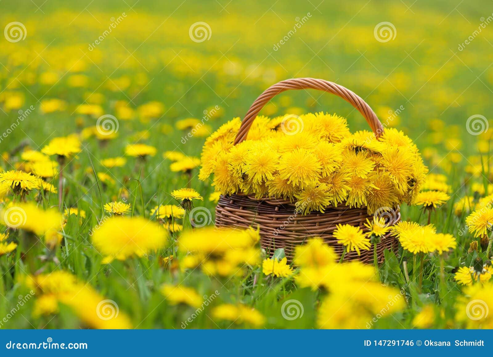 在一个篮子的蒲公英花在阳光下