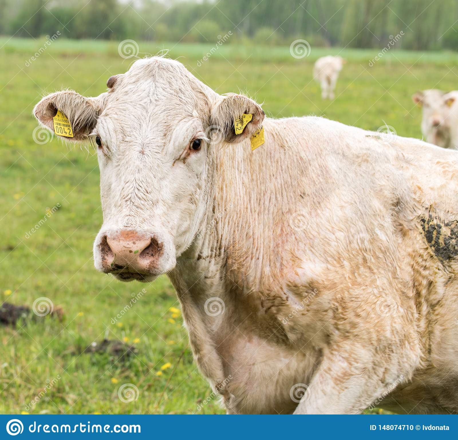 在一个绿色草甸的白色母牛 白色母牛画象