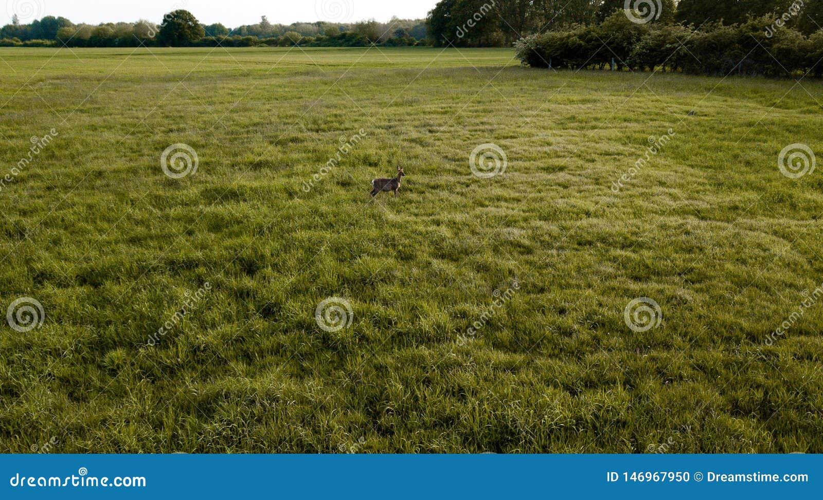 在一个绿色领域中间的一个鹿身分
