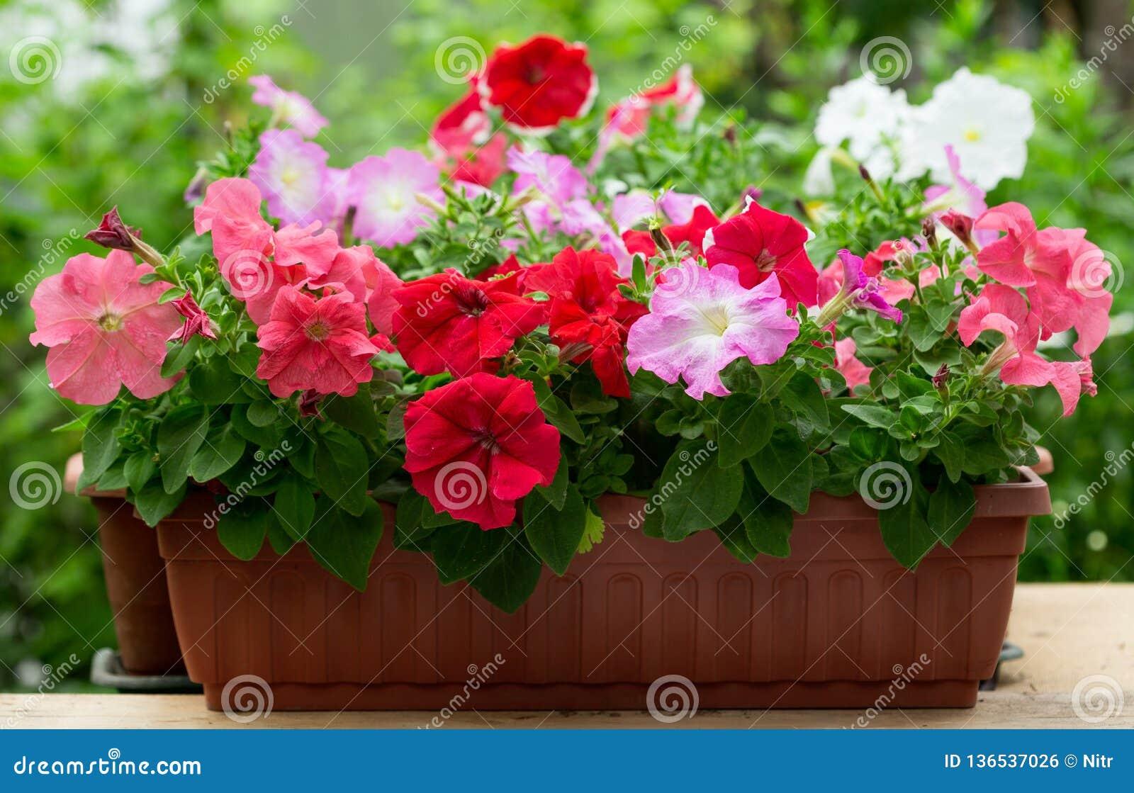 在一个罐的喇叭花花在庭院里