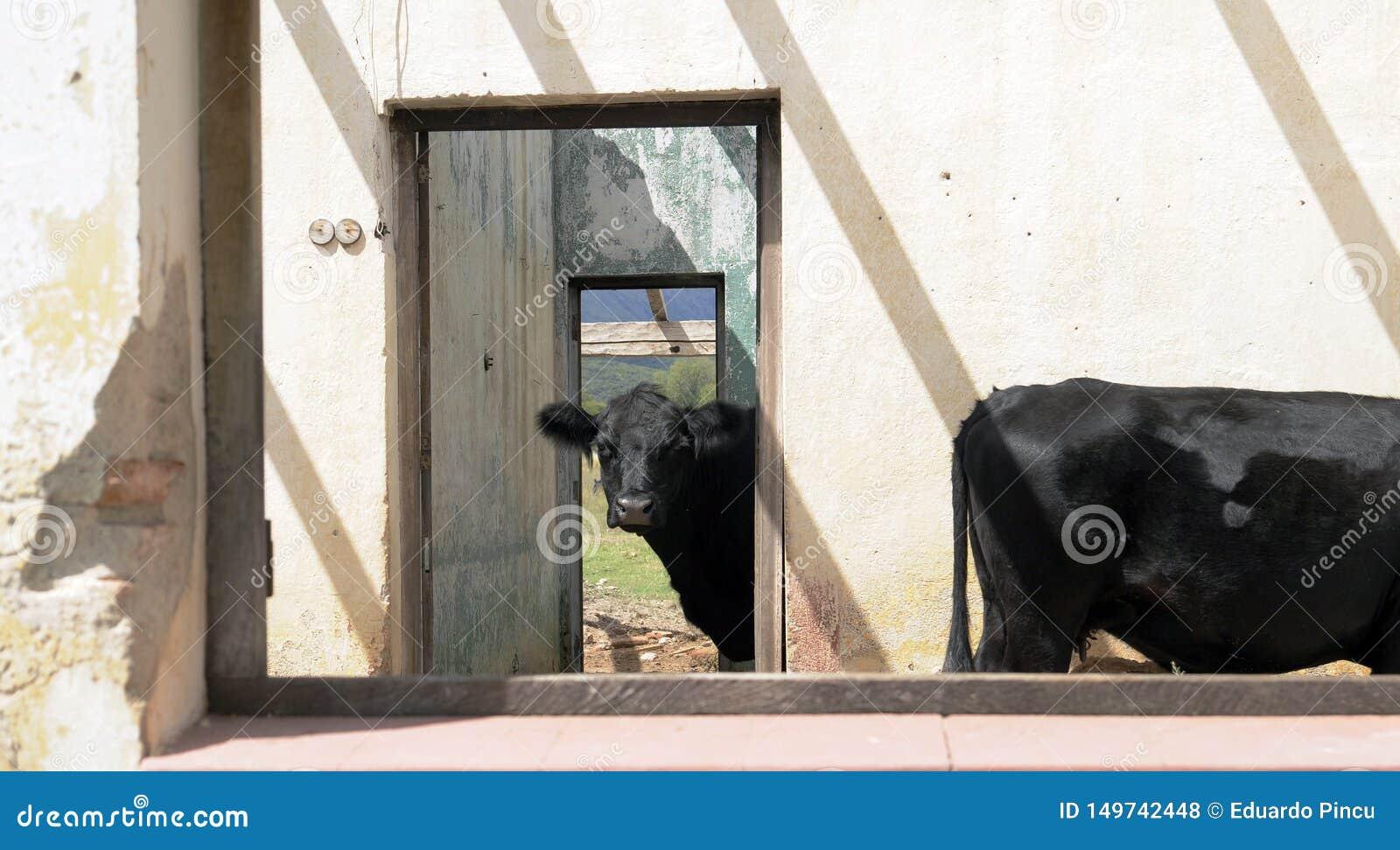 在一个老被放弃的房子里面的黑母牛