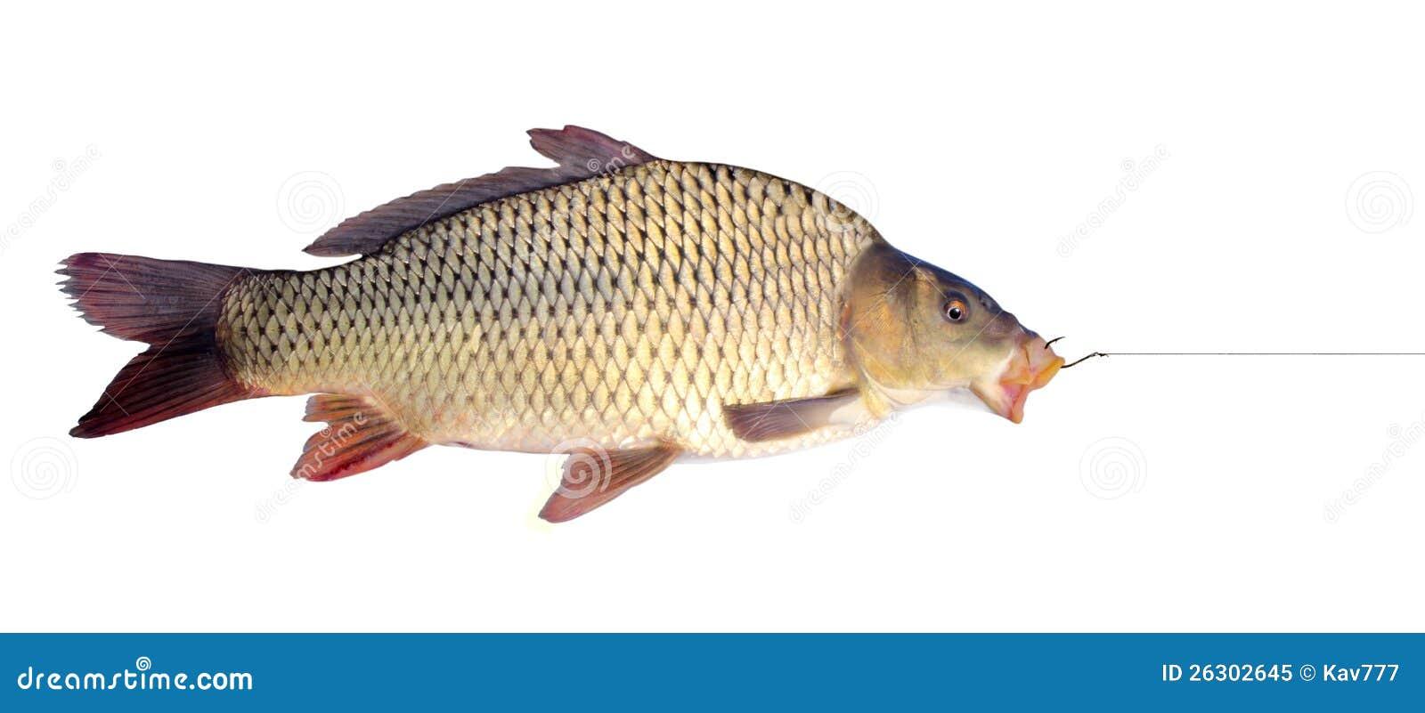 在一个钓鱼钩的鲤鱼图片