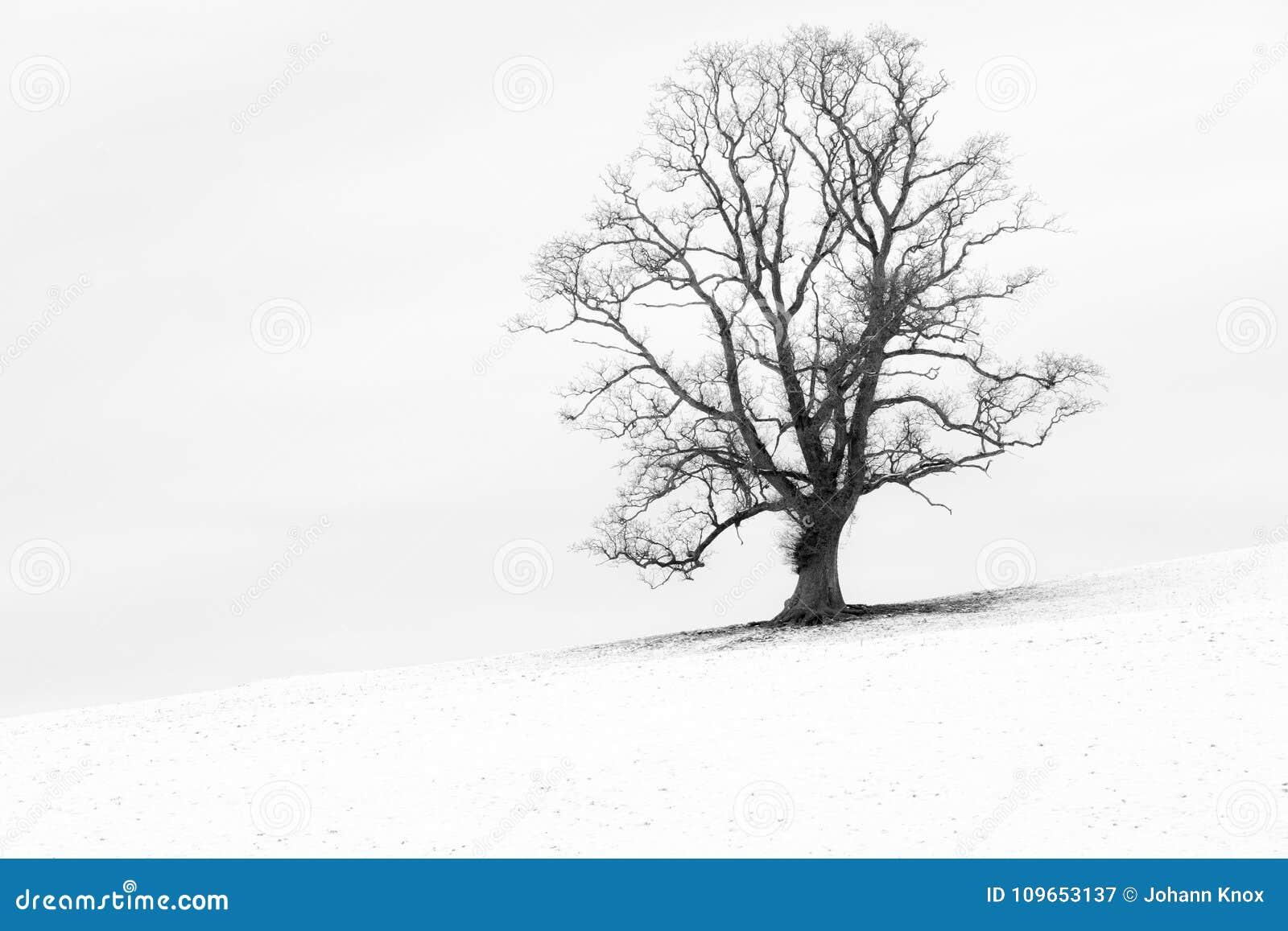 在一个雪白英国风景的唯一树