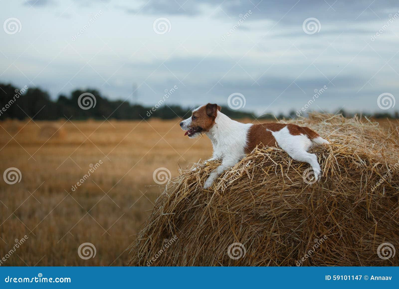 在一个领域的杰克罗素狗在日落