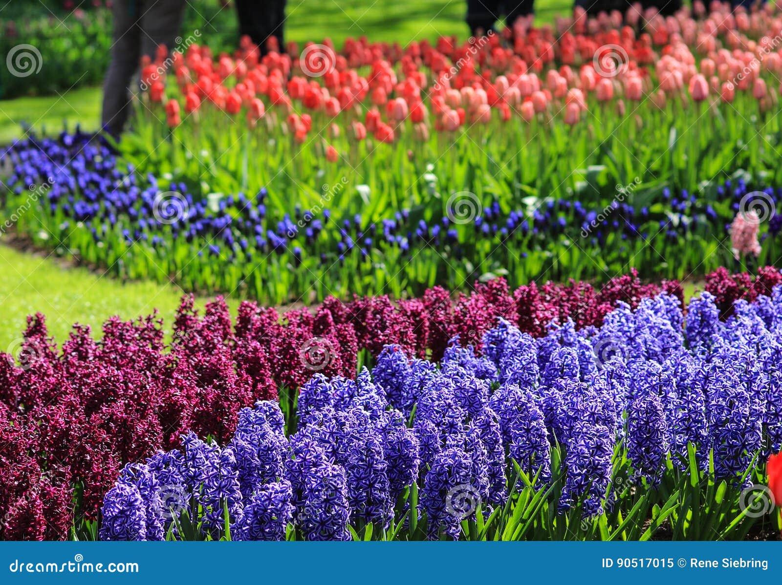 在一个领域的紫罗兰色和紫色风信花与红色和桃红色郁金香