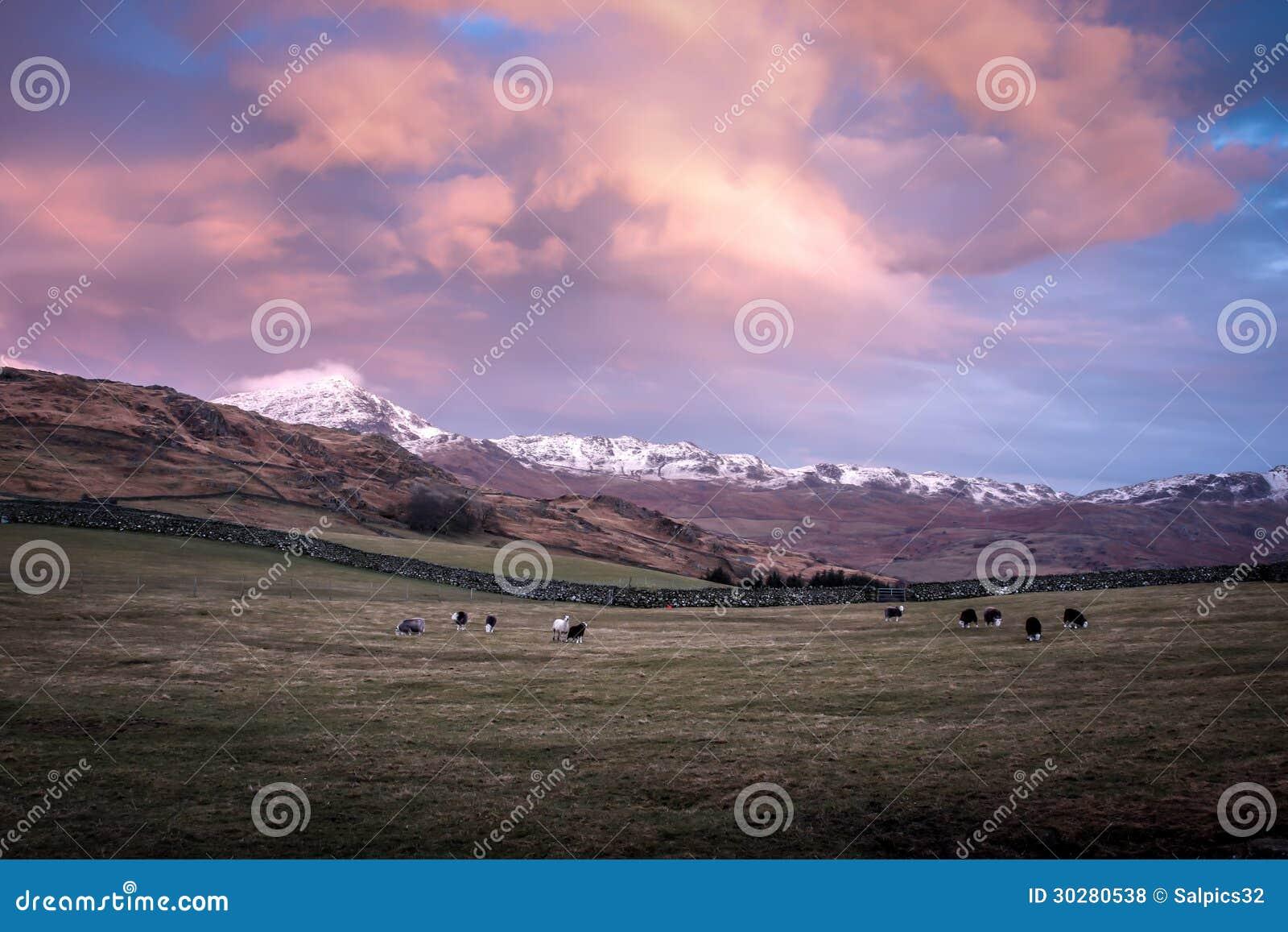 在一个领域的绵羊在日落