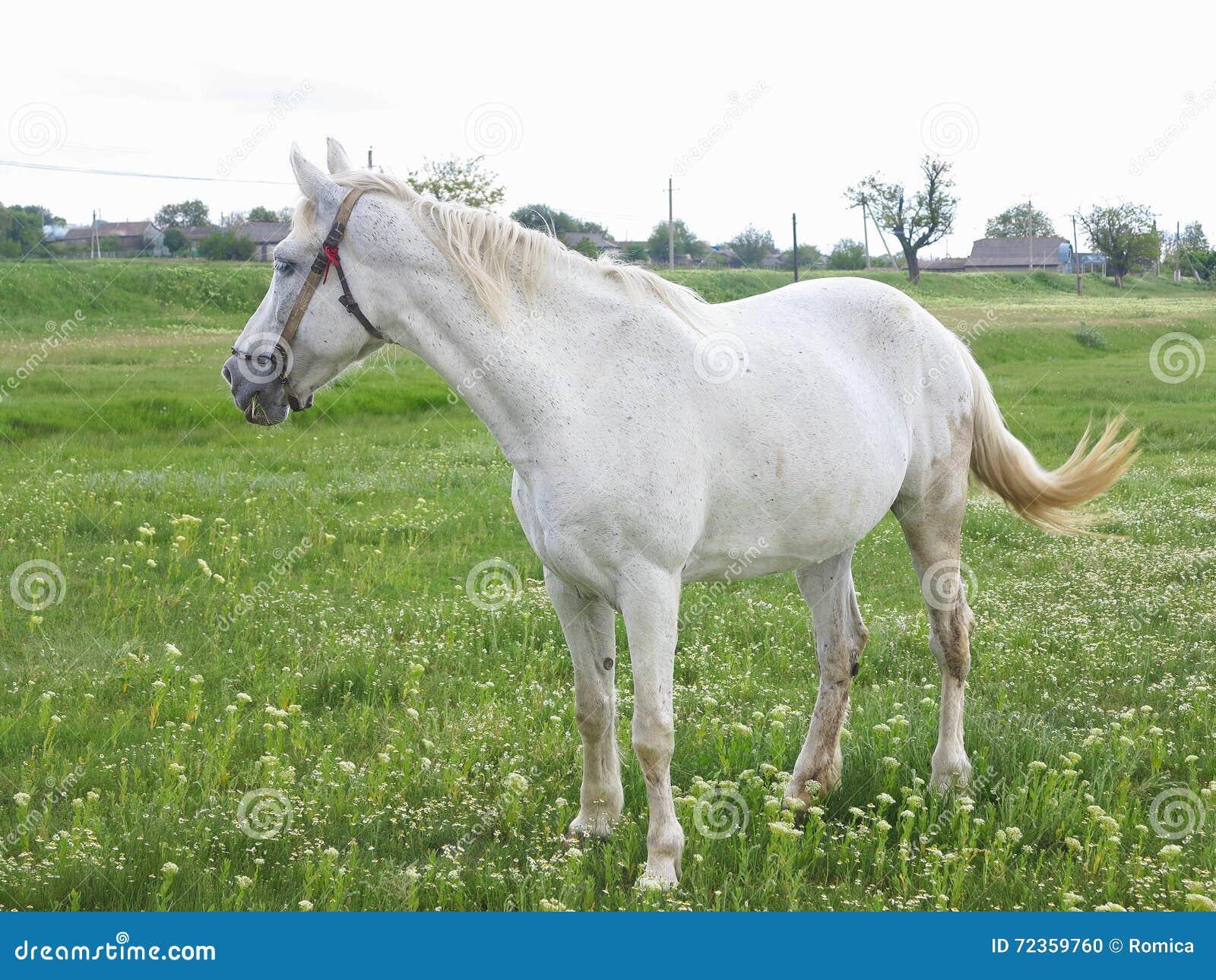 在一个绿色草甸的白马在夏日