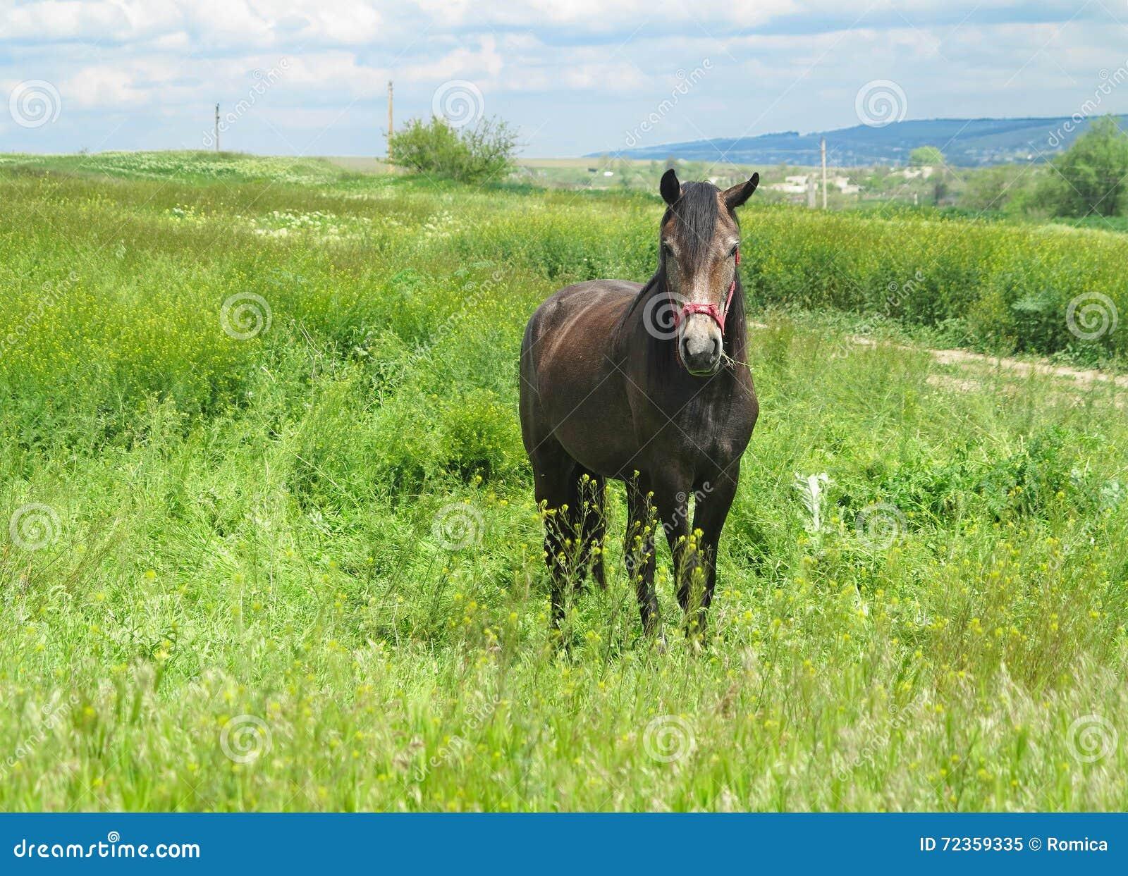 在一个绿色草甸的黑马在春日