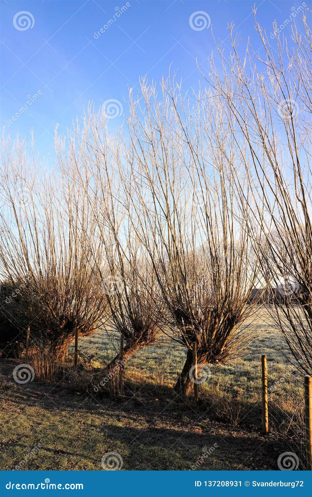 在一冷淡winterday的典型的荷兰风景与4棵角被割下的动物柳树