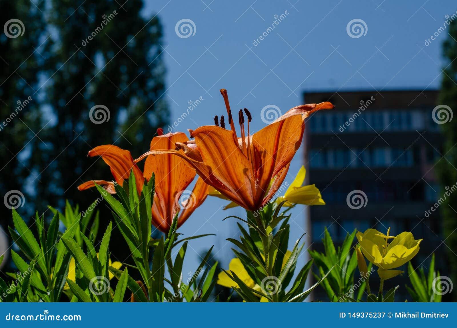 在一张城市床上的橙色花以一座高层建筑物为背景 生活在城市