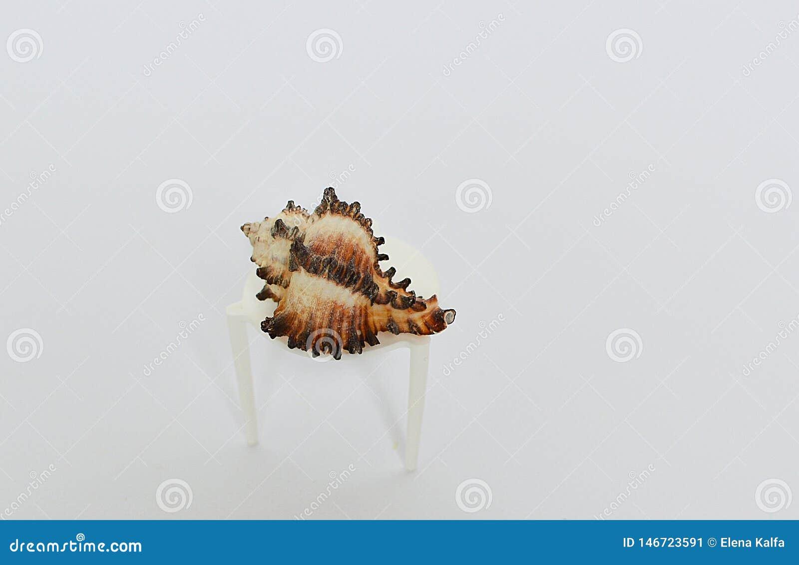 在一张小桌上的美丽的海扇壳在白色背景