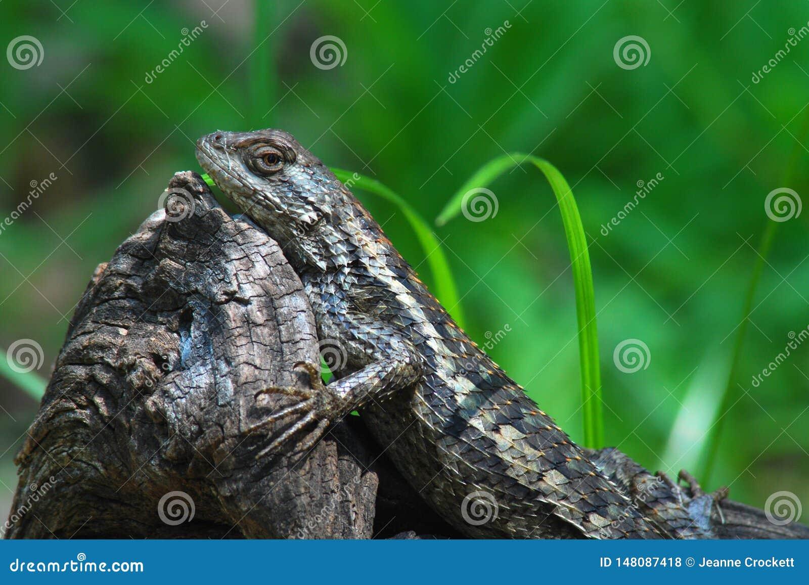 在一本老日志的得克萨斯多刺的蜥蜴