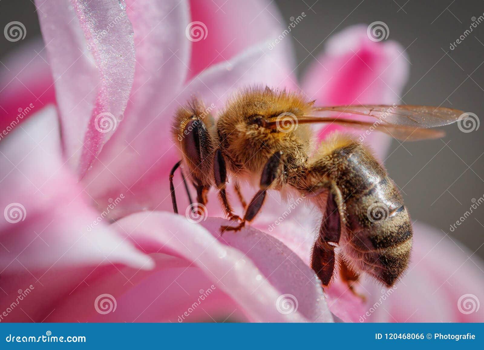 在一朵桃红色花的蜂收集花粉和会集花蜜的对p