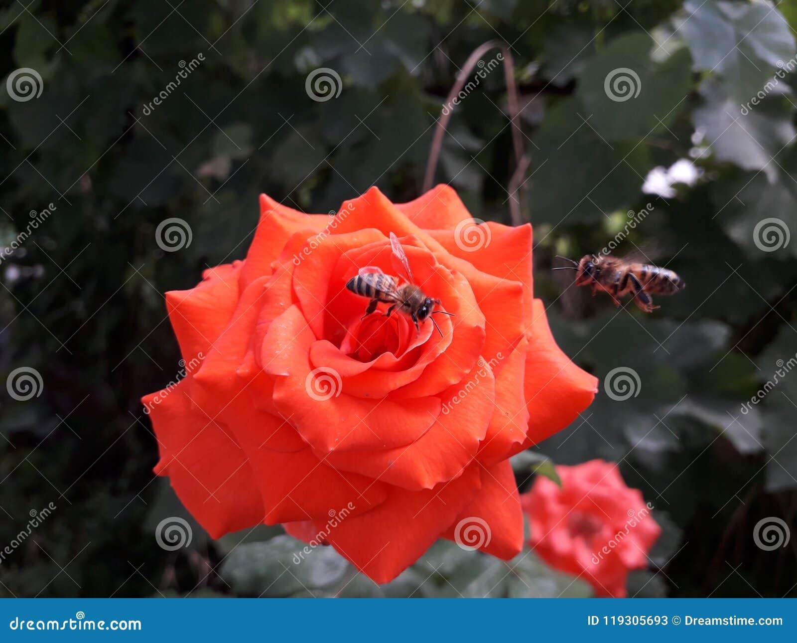 在一朵红色玫瑰的蜜蜂寻找花蜜