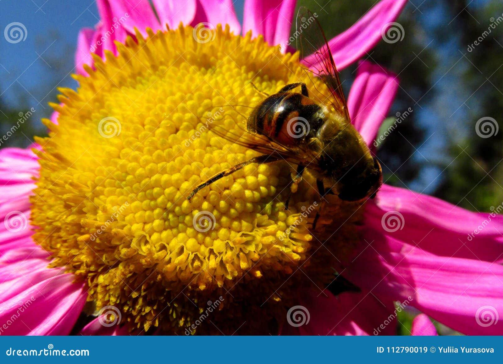 在一朵美丽的花的蜂蜜蜂在夏天晴天