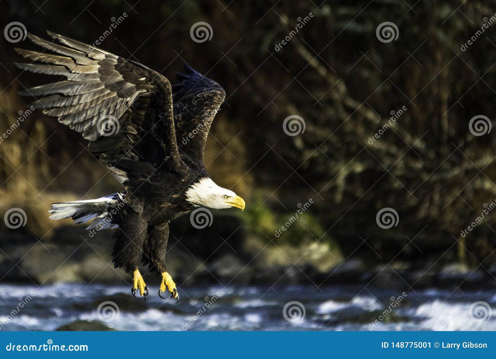 在一条河的白头鹰飞行在海恩斯阿拉斯加