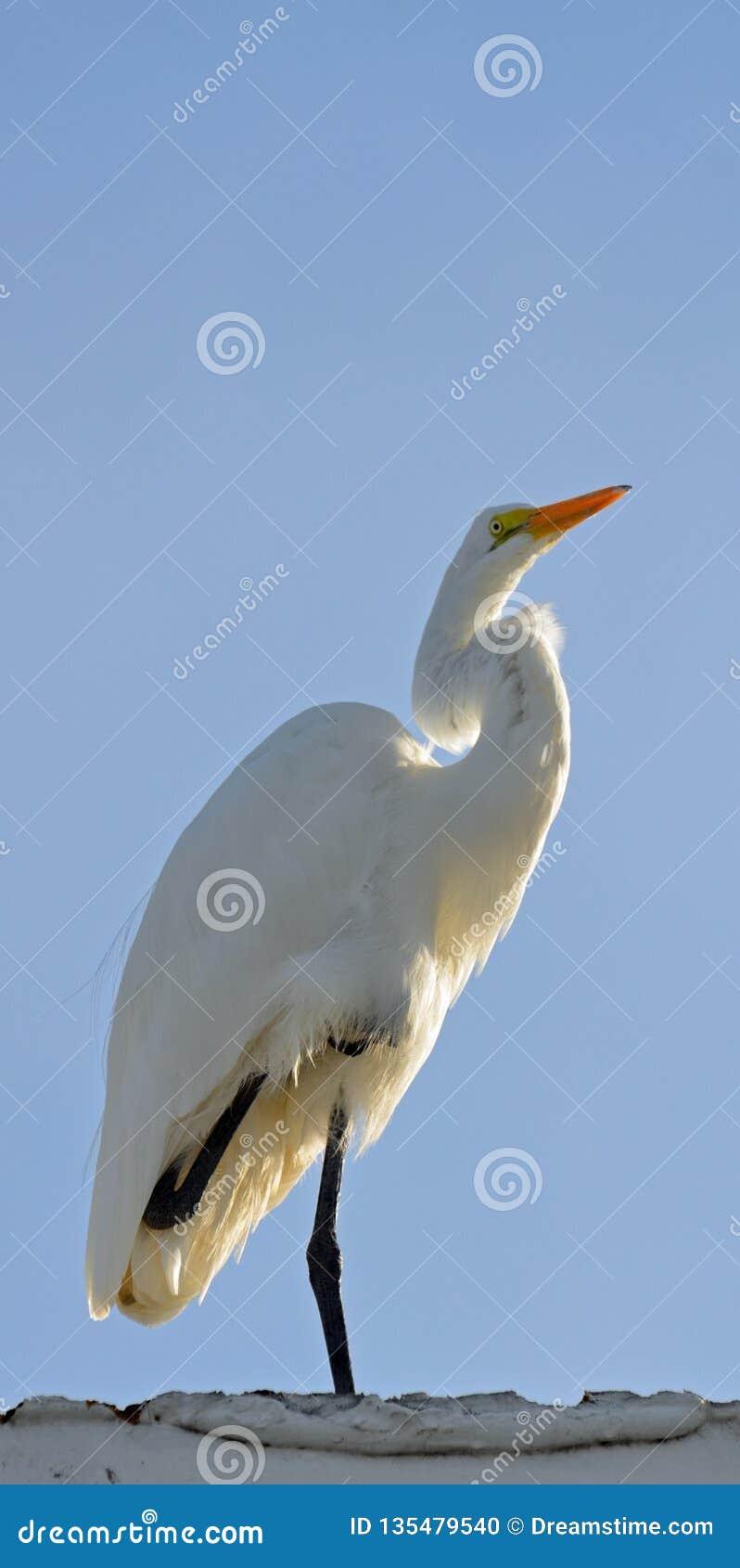 在一条腿今后被转动和平衡的伟大的白色白鹭,被日光照射了从后面反对浅兰的天空 复制的空间