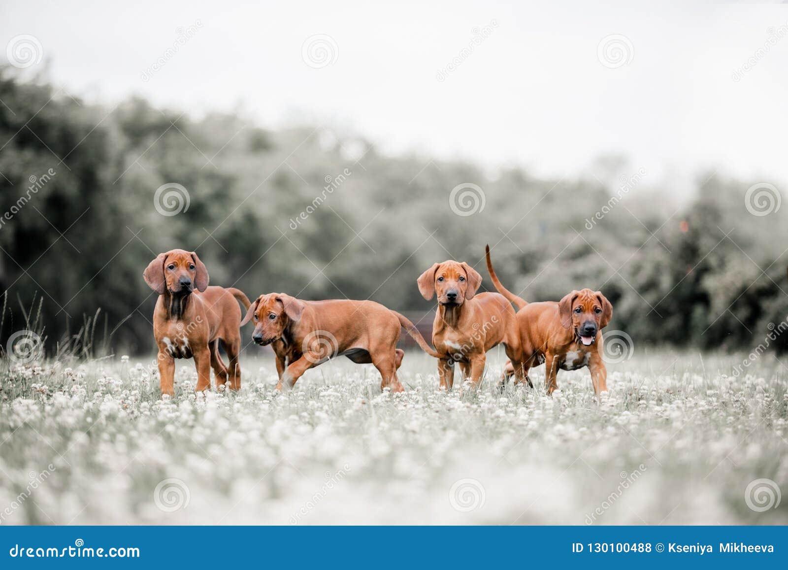 在一条道路的四条Rhodesian Ridgeback狗在森林里