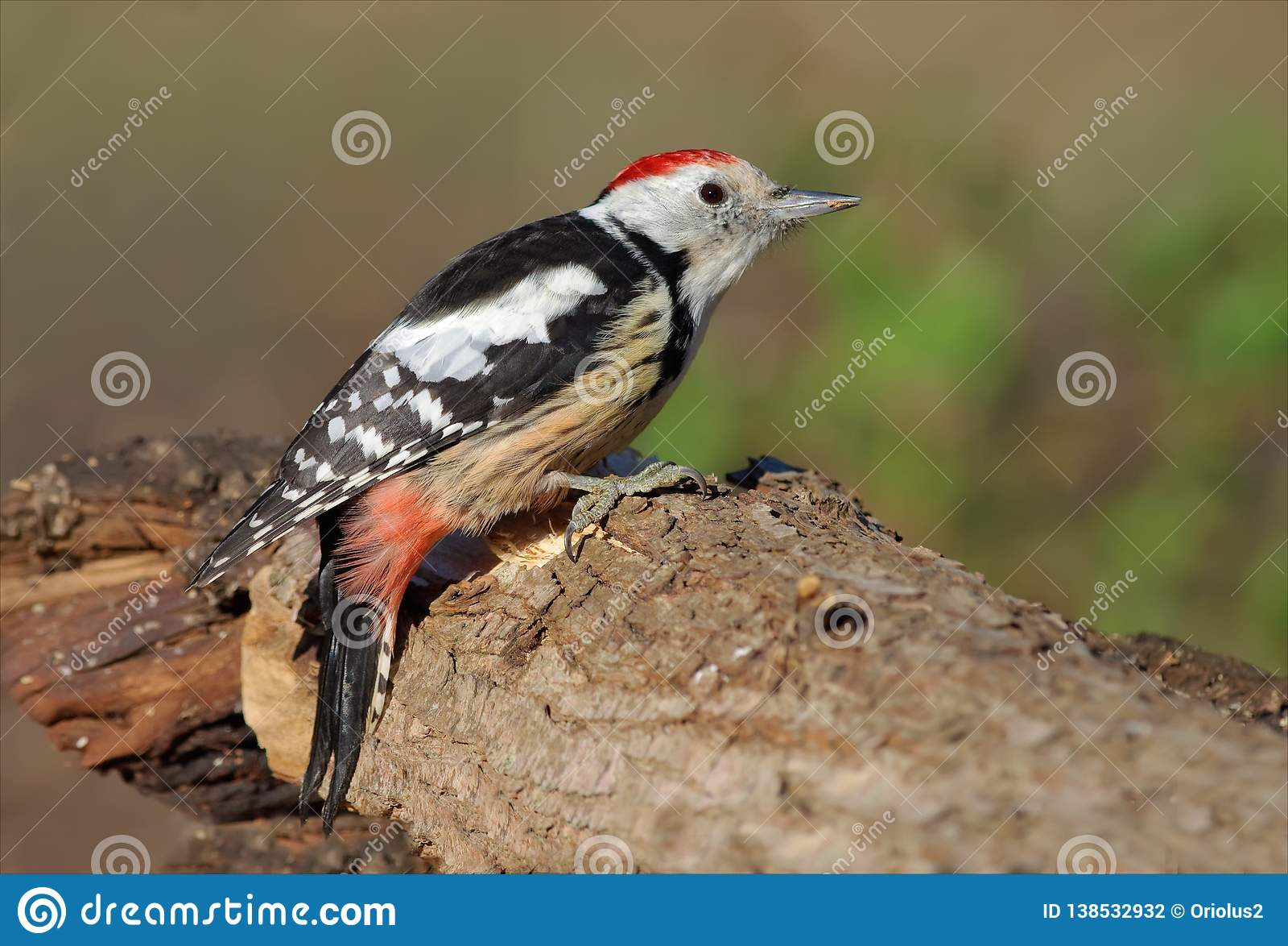 在一根大树干栖息的中间被察觉的啄木鸟