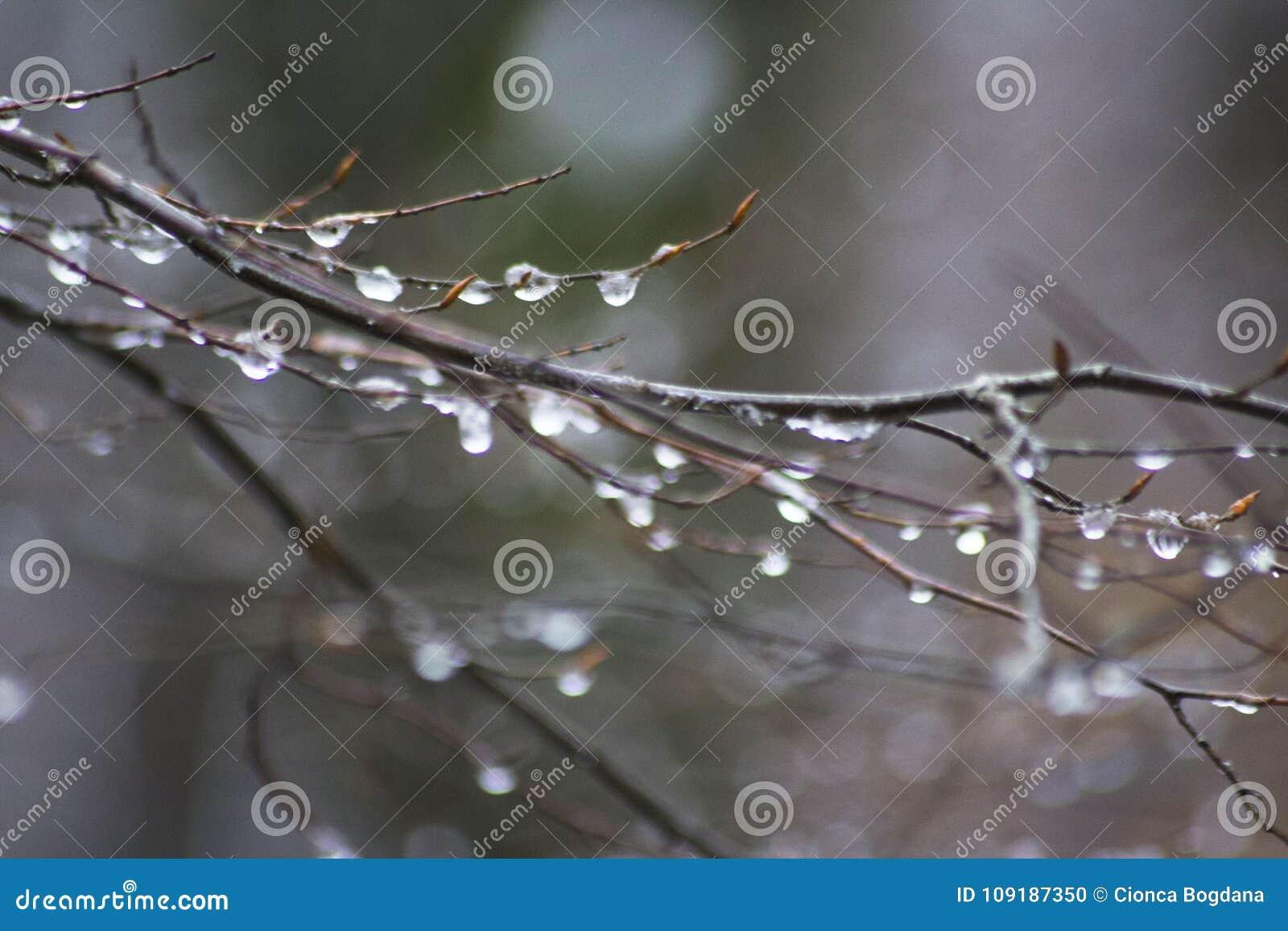 在一根枝杈结冰在森林里水的滴